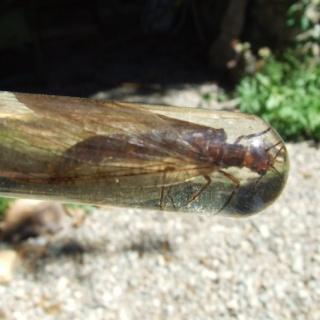 Stone fly del Aluminé