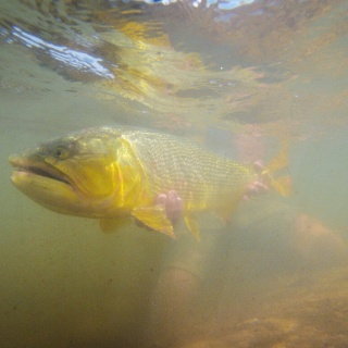 Do you see him !? Cast! - Golden Fly fishing.
