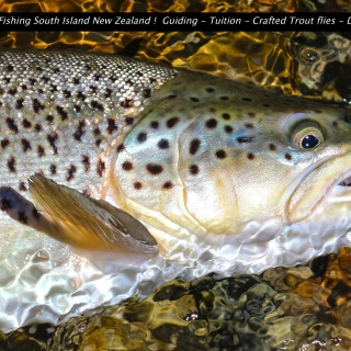 Prime wild Brown trout
