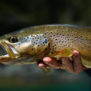 Brown trout Fly fishing at Rio Manso Lodge