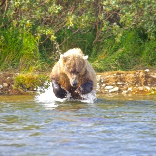 A Brown Bear launches in for the sockeye!