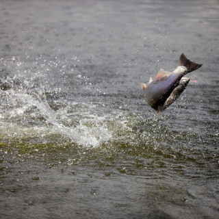 A leaping silver salmon on the fly.....a common sight in August!