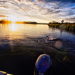 Doing battle with a silver salmon at sunset on the Alagnak River!