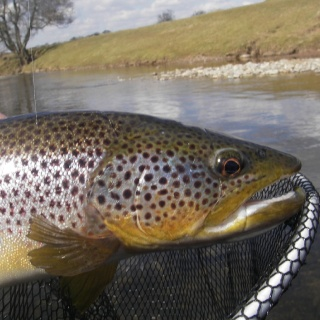 River Eden Trout 2013