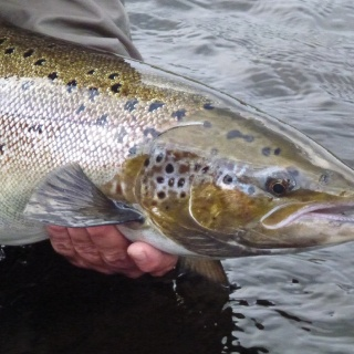 August salmon close up