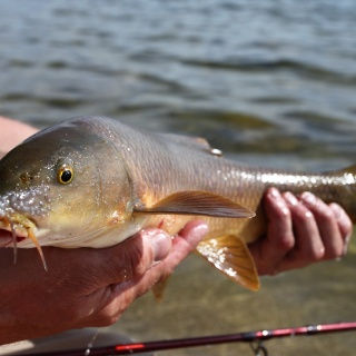 Male barbel showing spawning turbucles