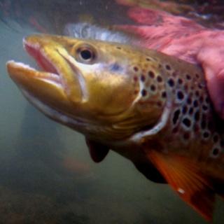 Large Brown being released in Penns Creek