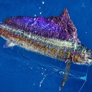 Sailfish on Fly!