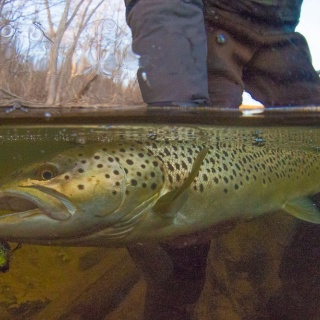 Lake run brown trout are a great bonus during the fall and winter.