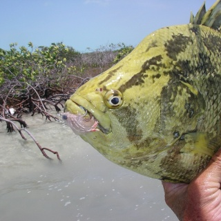 Tripletail show up occassionally