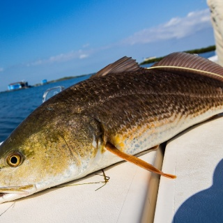 Typical Laguna Madre Redfish