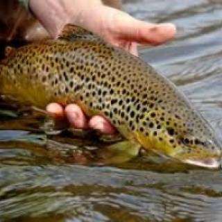 Wild Brown Trout can exceed over 2,000 fish per mile in the Eagle and Roaring Fork River sections.