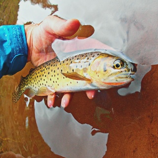 A beautiful high country cutthroat.  San Juan Mountains.  Caught on a dry fly.  Photo by Andy McKinley and Duranglers