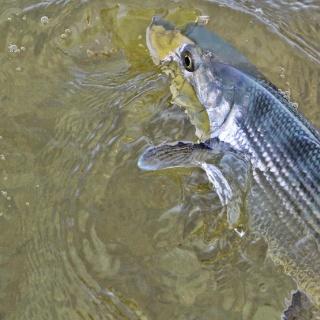Bonefish close up in Cozumel, Mexico. www.pescacozumel.com