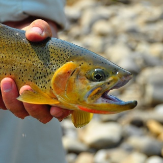 Elk River Cutthroat