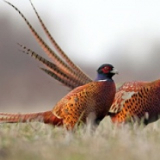 Hunt Pheasants at the SIlver Bow Club in Montana