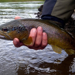 A nice brown caught in Manihuales river.