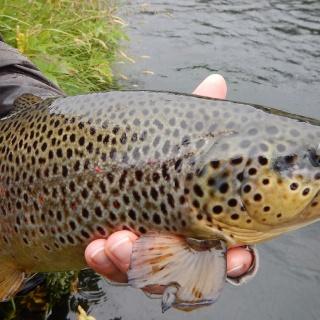 River Galtalaekur - Brown trout