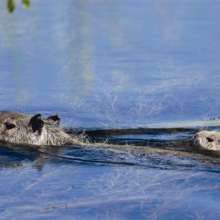 Capybaras crossing the river - Pira Lodge