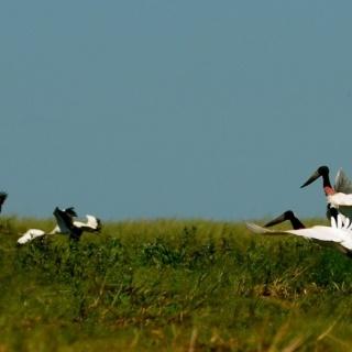 Yabiru birds - Pira Lodge