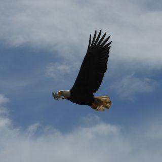 Eagle while fishing - Deep Creek Lodge