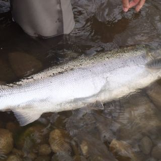 Gaula salmon before release