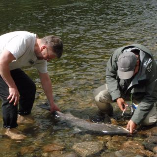Releasing a massive Gaula salmon