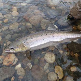 Gaula salmon