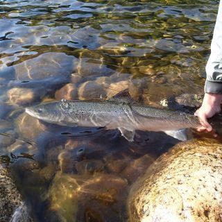 Releasing a Gaula salmon