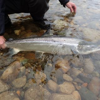 Big Gaula salmon before release