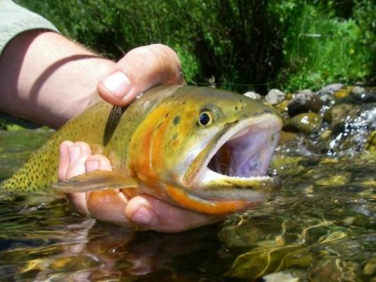 Fishing report eagle river by john packer fly dreamers for Yampa river fishing report