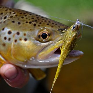 Brown trout like streamers!