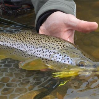 Yellow streamer eating Jefferson River brown trout!