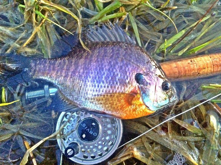 Max sisson 39 s fly fishing image of a bluegill fly dreamers for Bluegill fly fishing