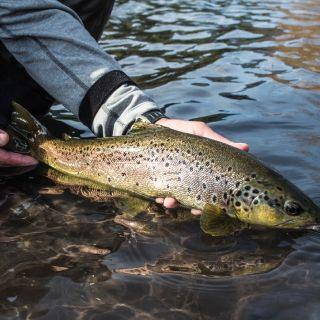 Una linda marrón que se entusiasmo con un huevo de salmón en el Río Petrohue.