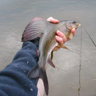 Nice wild grayling from CZ