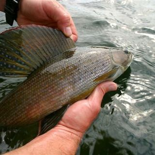 Arctic Grayling on the 5wt.