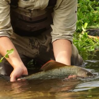 A beautiful grayling release for a client on the shallows section