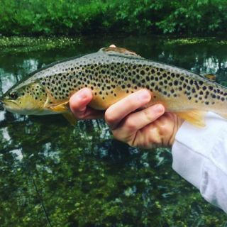 Do wild fish get any better looking than this. A typical West Beck Brownie on a skated sedge