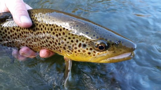 Beaverhead river 10 16 16 fly fishing photos fly dreamers for Beaverhead river fly fishing
