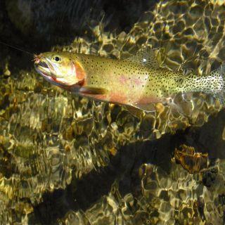 Indian Creek Westslope Cutthroat