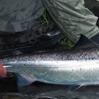 Cheticamp river Atlantic Salmon