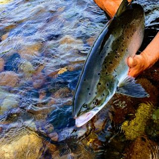 Margaree river Atlantic Salmon