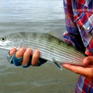 Pretty Little bonefish