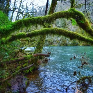 Steelhead rainforest.