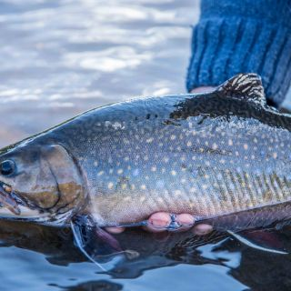 The release at Igloo Lake Labrador