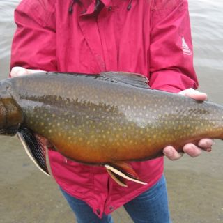 Monster Igloo Brook Trout