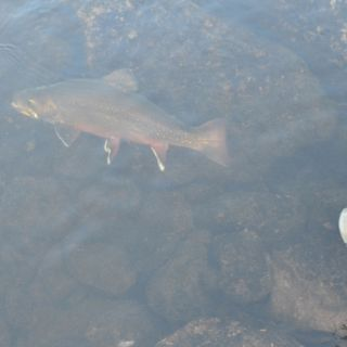 The release at Igloo Lake Labrador - huge brook trout