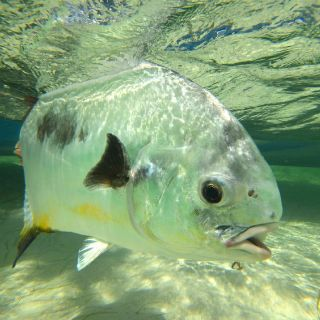 We have one of the best permit fishery in the Caribbean