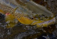 Fly-fishing Pictureof brown trout shared by Michael Stack | Fly dreamers